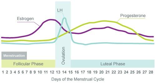 女性の28日周期 月経周期中のエストロゲンとプロゲステロン