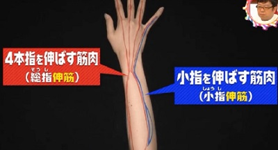 第22回 NHK「チコちゃんに叱られる!」小指ピーンの謎。小指だけにある小指伸筋