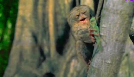 宝の持ち腐れ動物 獲物に飛びつく時目を閉じるメガネザル NHK「チコちゃんに叱られる!」