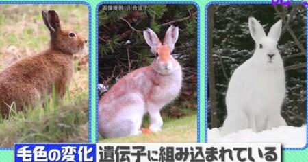 宝の持ち腐れ動物 第3位ユキウサギ NHK「チコちゃんに叱られる!」