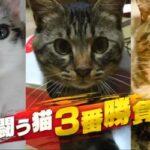 豊原アナ実況「何かと闘う猫 3番勝負」特集「チコちゃんに叱られる!」