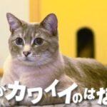 猫がかわいいのはなぜ?大きくなっても赤ちゃんと同じだから?チコちゃんに叱られる