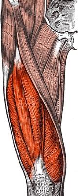 部位別 筋肉量・筋肉の大きさランキングベスト10 全身の筋肉を大きい順に並べると? 第1位 大腿四頭筋
