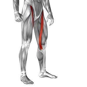 部位別 筋肉量・筋肉の大きさランキングベスト10 全身の筋肉を大きい順に並べると?第10位 縫工筋