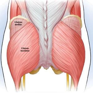 部位別 筋肉量・筋肉の大きさランキングベスト10 全身の筋肉を大きい順に並べると? 第2位 大殿筋