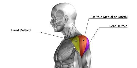 部位別 筋肉量・筋肉の大きさランキングベスト10 全身の筋肉を大きい順に並べると? 第3位 三角筋