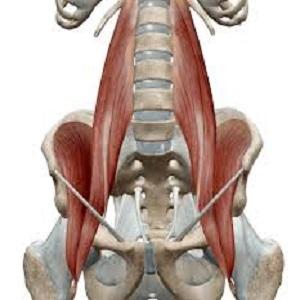 部位別 筋肉量・筋肉の大きさランキングベスト10 全身の筋肉を大きい順に並べると? 第5位 腸腰筋