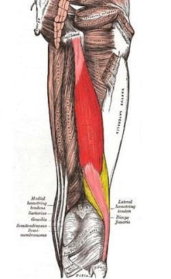 部位別 筋肉量・筋肉の大きさランキングベスト10 全身の筋肉を大きい順に並べると? 第7位 大腿二頭筋
