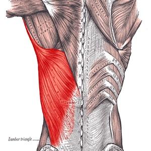部位別 筋肉量・筋肉の大きさランキングベスト10 全身の筋肉を大きい順に並べると? 第8位 広背筋