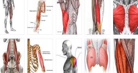部位別 筋肉量・筋肉の大きさランキングベスト10 大きい順に並べると一番大きい筋肉は?