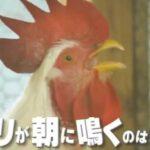 鶏が朝鳴く理由は?メスは鳴かない?チコちゃんに叱られる