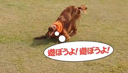 世界一受けたい授業 動物に好かれる人になる5つの方法は?犬が遊びたい時のサインは頭を下げてお尻を上げるプレイバウ