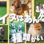 犬の種類はなぜ数が多い?犬種が豊富な2つの理由は?チコちゃんに叱られる
