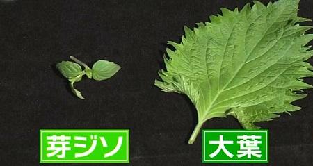 日本人のおなまえ しそが大葉になったのはなぜ?大きくないのに大葉の名前の理由は大きな芽ジソだから