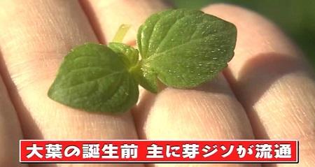 日本人のおなまえ しそが大葉になったのはなぜ?大きくないのに大葉の名前の理由は芽ジソがあったから