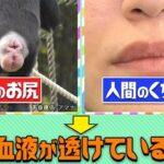 唇が赤いのはなぜ?答えは猿のお尻?チコちゃんに叱られる