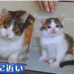 チコちゃんに叱られる 猫の模様はなぜ種類が多い?クローン猫でも違う柄になる不思議